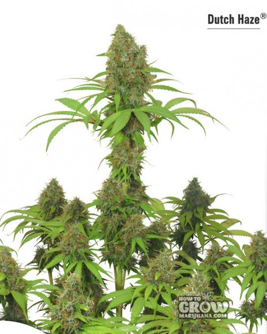 Dutch Passion – Dutch Haze® Feminized Seeds