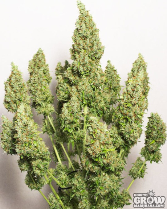 Dutch Passion – Mazar Autoflowering Feminized Seeds