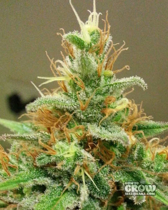 Dutch Passion – Dolce Vita® Feminized Seeds