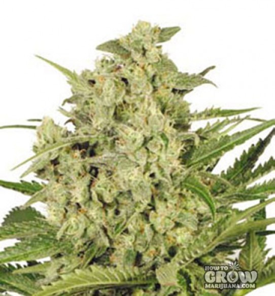 Dutch Passion – Cheese® Feminized Seeds