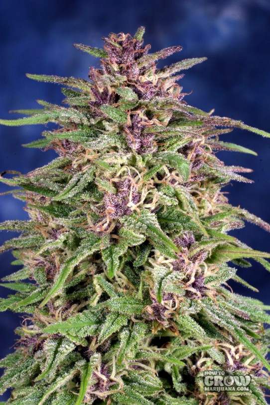 Dutch Passion – Frisian Dew® Feminized Seeds