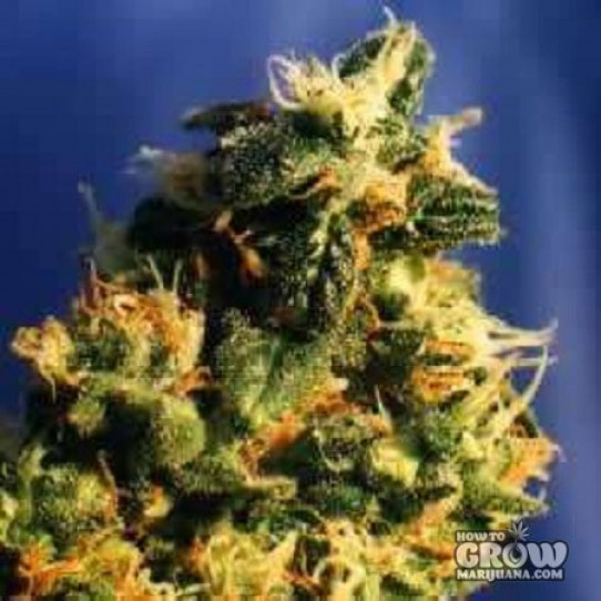Dutch Passion – Green Spirit® Feminized Seeds