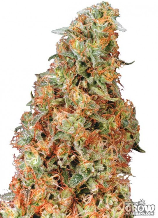 Dutch Passion – Power Plant Feminized Seeds