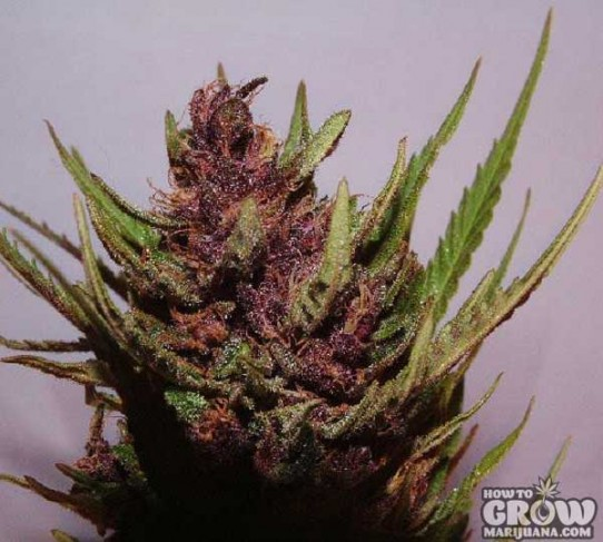 Dutch Passion – Shaman Feminized Seeds