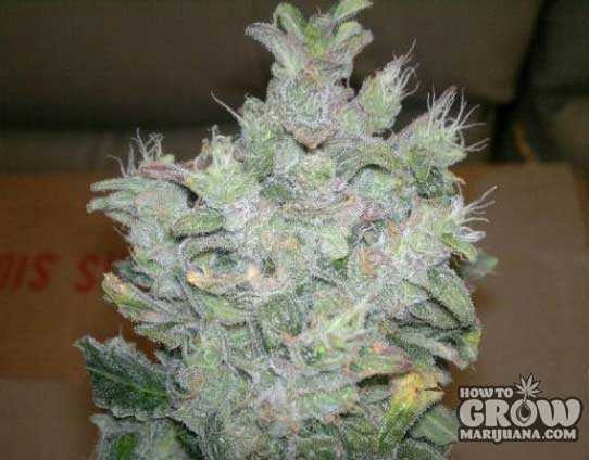 Dutch Passion – Think Different Autoflowering Feminized Seeds