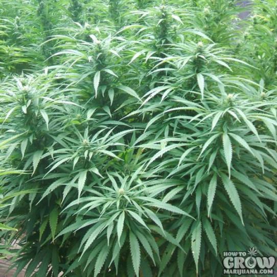 Green House – White Rhino Feminized Marijuana Seeds