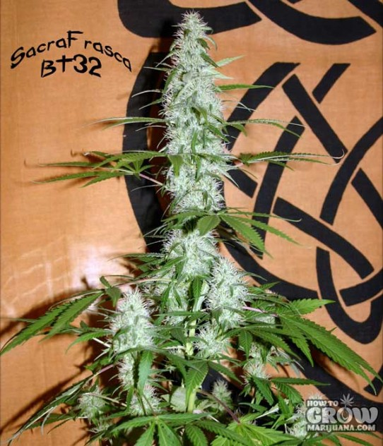 12 Diy Homemade Grow Boxes To Control The Growing Environment as well Shomo44 moreover La Siembra  ienza La Temporada De Cultivo besides Plants Turning Yellow in addition Search. on fan on cannabis seedlings