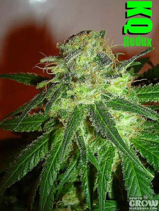 Dutchgrown – Killer Queen Redux Marijuana Seeds