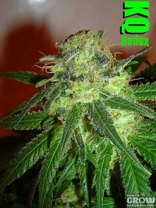 Dutchgrown – Killer Queen Redux Marijuana Seeds