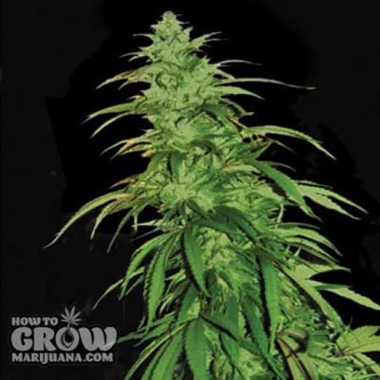 Emerald Triangle – Lemon Haze Autoflowering Feminized Seeds