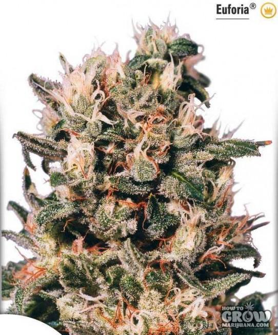 Euforia Marijuana Seeds