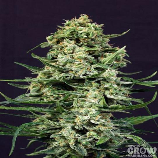 Exotic – Sir Jack Autoflowering Feminized Seeds