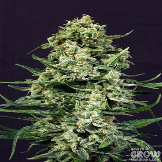 Exotic – Sir Jack Autoflowering Feminized Seeds