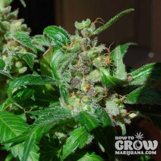 Female – Black Sugar Feminized Seeds