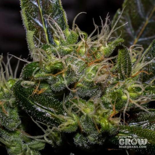 Flash – Cobra Autoflowering Feminized Seeds