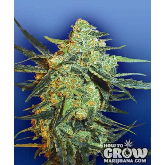 Flying Dutchmen – Blueberry Skunk Feminized Seeds