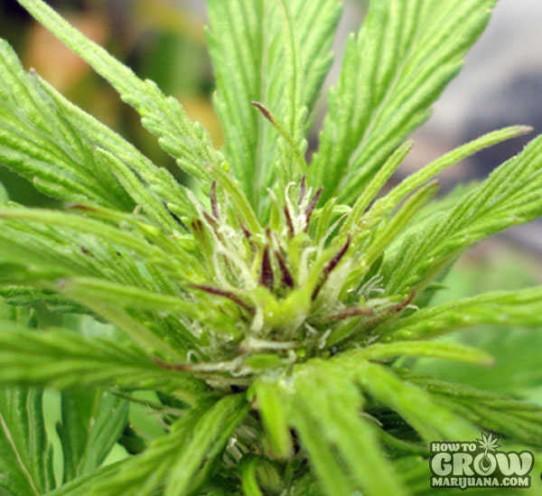 G13 Labs – Auto Blueberry Autoflowering Feminized Seeds