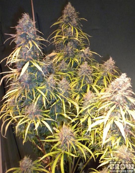 Dampkring – G13 x Amnesia Haze Seeds