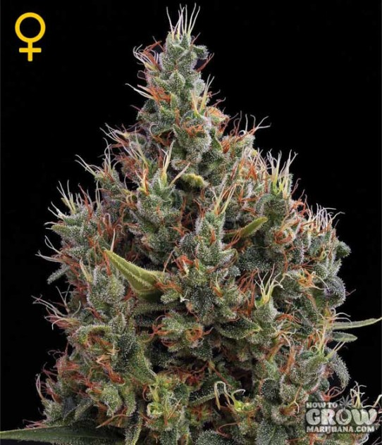 GreenHouse – Big Bang AutoFlowering Feminized Seeds