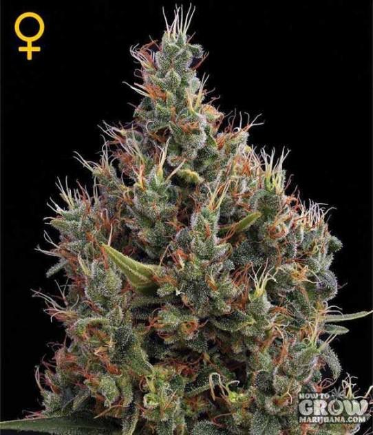 GreenHouse – Big Bang AutoFlowering Feminized Seeds