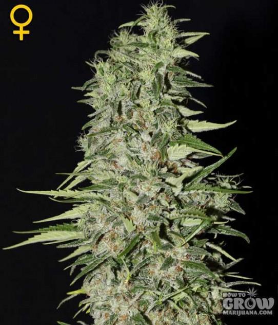 Green House – Diamond Girl Feminized Seeds