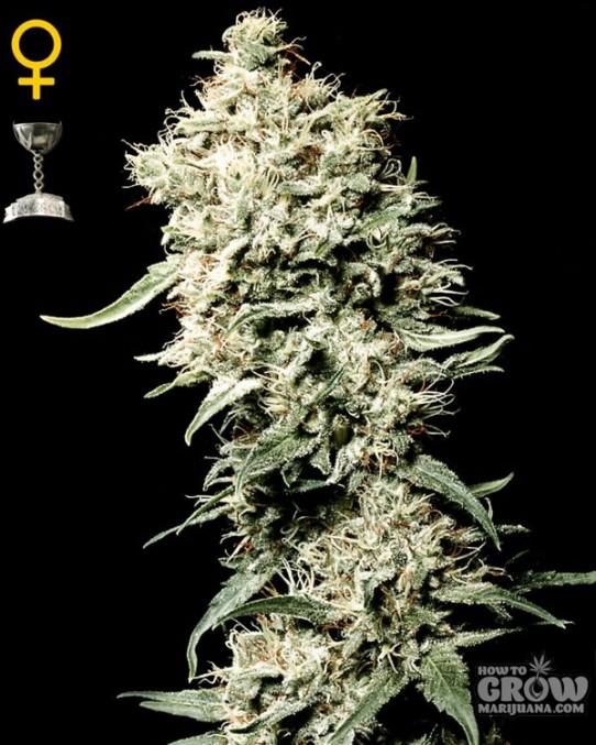 White Rhino Marijuana Seeds – Best Buys – Feminized, Autoflowering & Regular