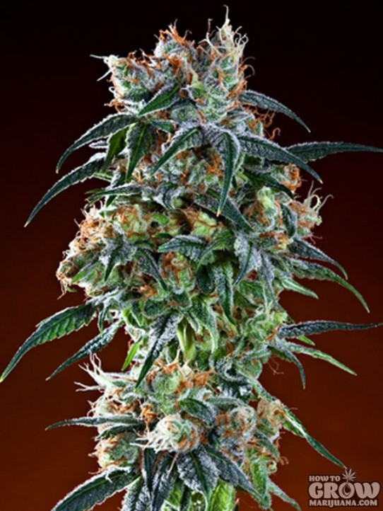 Grand Daddy Purp – Bay 11 Seeds