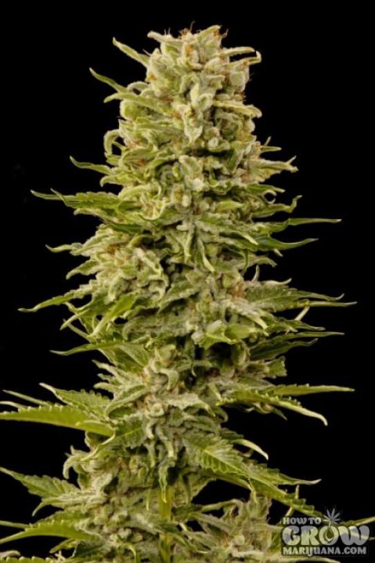 Grass-O-Matic – Auto AK Autoflowering Feminized Seeds