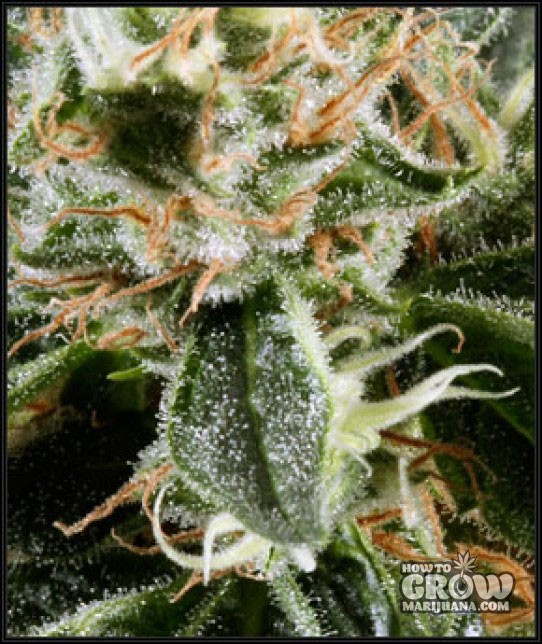Green House – Great White Shark Feminized Seeds