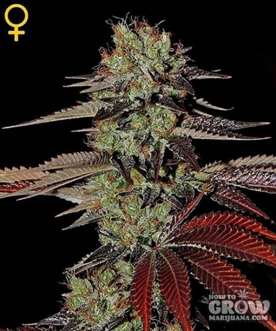 Green House – King's Kush Auto Feminized Seeds