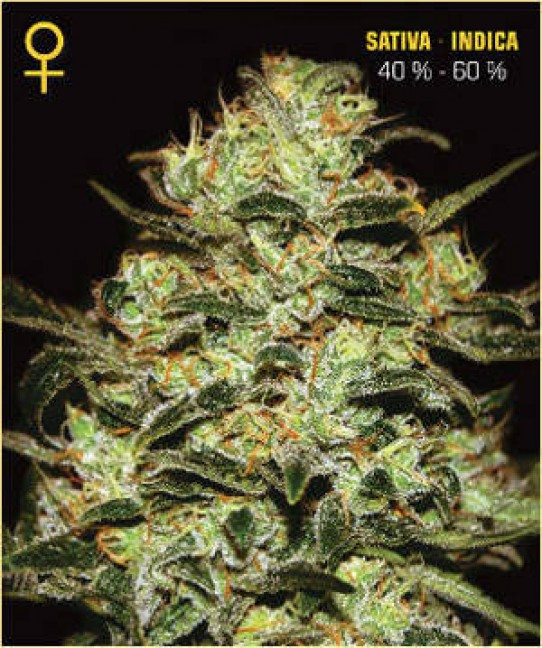 Green House – Moby Dick Feminized Seeds