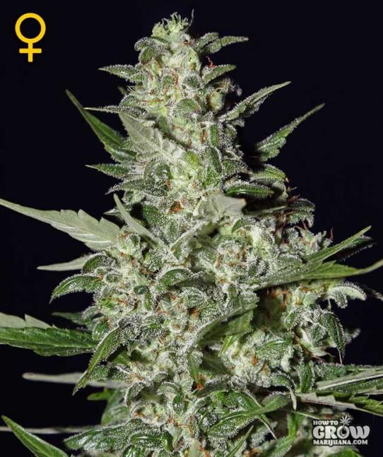 Green House – Super Critical Autoflowering Feminized Seeds