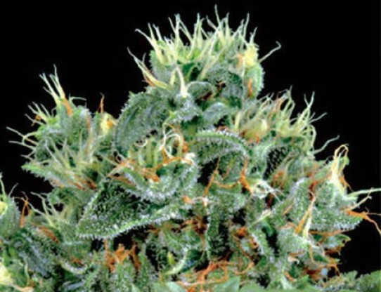 Green House – The Doctor Feminized Seeds