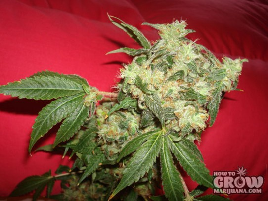 Green House – White Widow Feminised Seeds