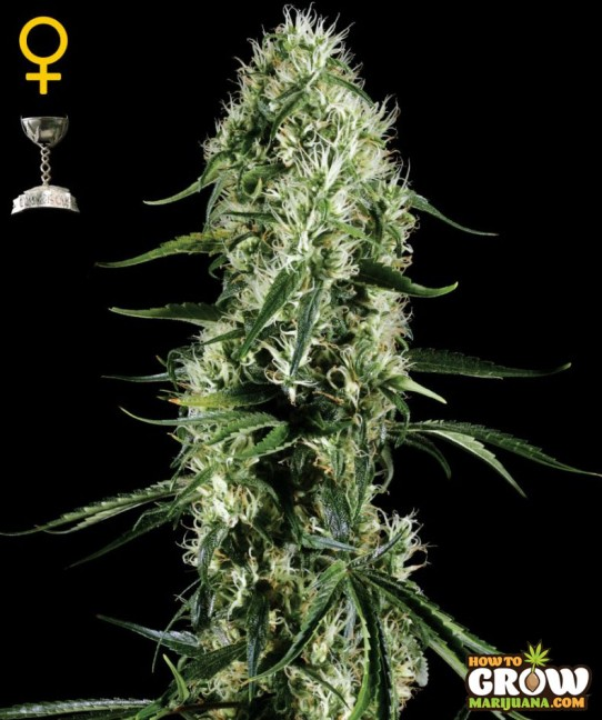 Green House – Super Silver Haze Seeds