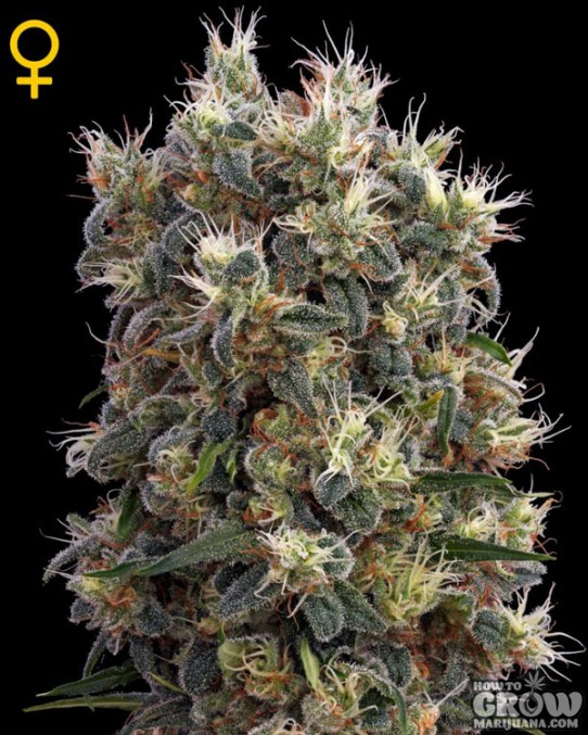 Green House – The Church Feminized Seeds