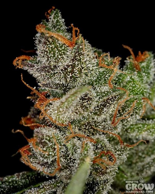 GreenHouse – King's Kush Feminised Marijuana Seeds
