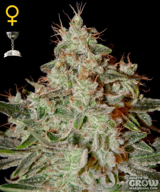 Green House – Lemon Skunk Feminized Seeds
