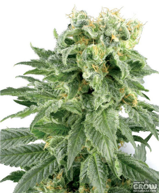 Grey Area – Double Bubble (Double Gum) Seeds