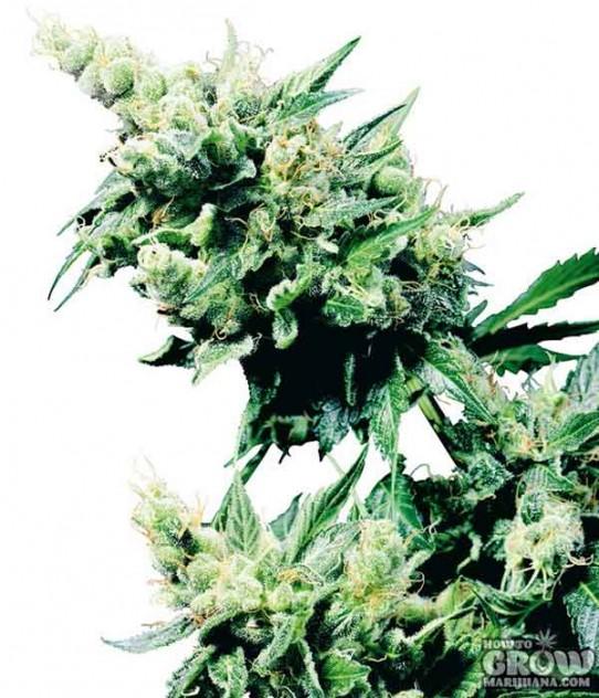 Exodus – Hash Plant Feminized Marijuana Seeds