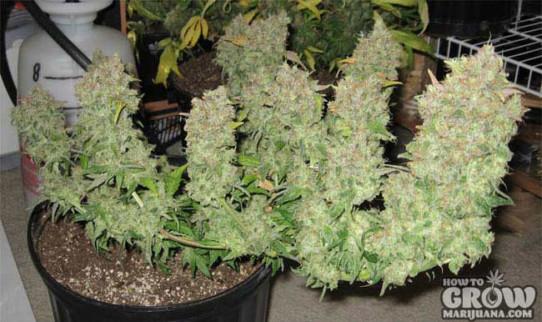 High Yielding Cannabis Seeds