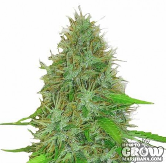 Heavyweight – 2 Fast 2 Vast Autoflowering Feminized Seeds