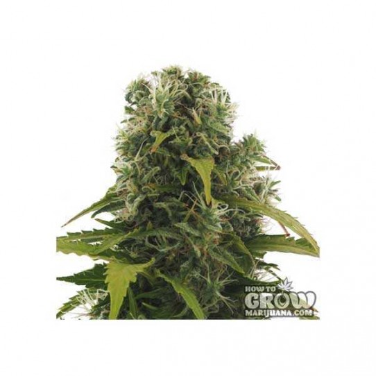 Heavyweight – High Density Autoflowering Feminized Seeds