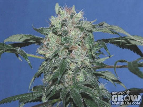 Heavyweight – Strawberry Cheescake Feminized Seeds
