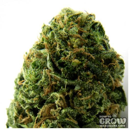 Heavyweight – Massive Midget Autoflowering Seeds