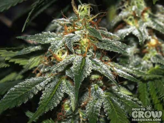 Many Seedbanks – Hindu Kush Feminized Marijuana Seeds
