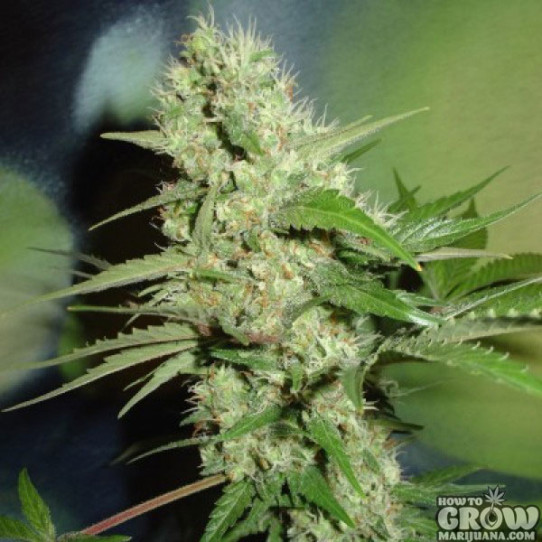 Home Grown Fantaseeds – Jack Herer Feminized Seeds