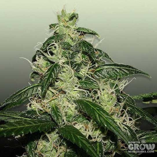 L.A. Cheese Feminized Marijuana Seeds