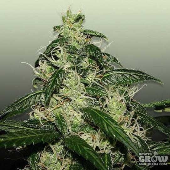 L.A. Cheese Feminized Marijuana Seeds