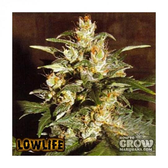 Lowlife – Automatic AK47 x Auto Hindu Kush Feminized Seeds